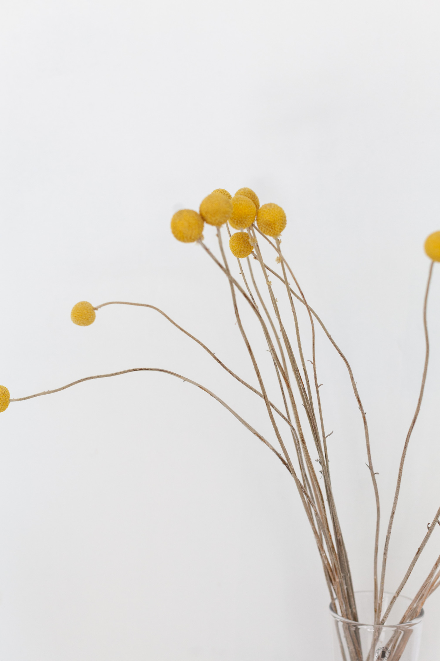 Краспедия – одно из любимых растений, оно сухое и красивое, стоит уже второй год.
